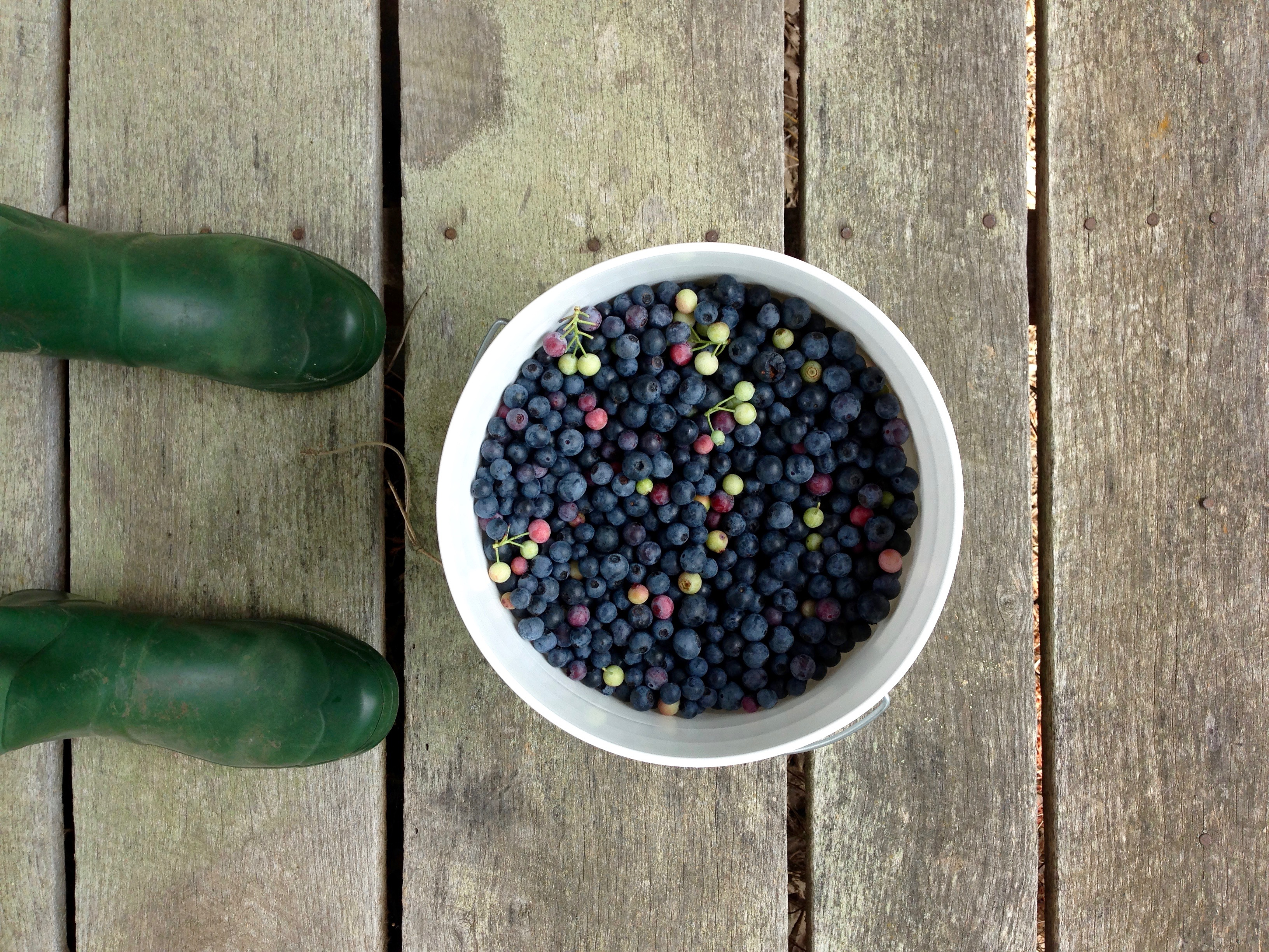 Local blueberries are abundant in Sante Fe, TN and ready for